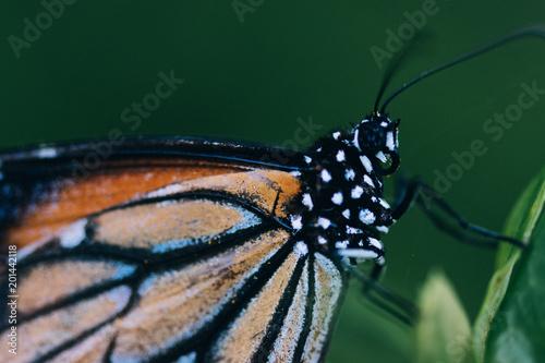 Obraz na plátně monarch butterfly on leaf