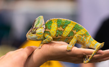 Big Chameleon In A Petting Rep...