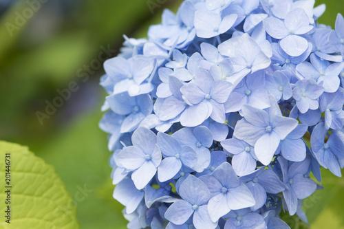 Foto op Canvas Hydrangea Hydrangea flowers, beautiful blue flower, floral background