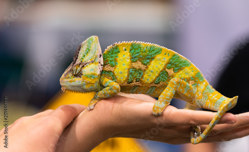 Photo Big chameleon in a petting reptile zoo