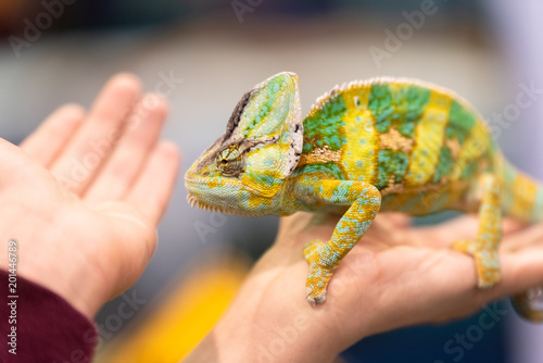Foto op Canvas Kameleon Big chameleon in a petting reptile zoo