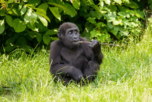 Young Gorilla Eating A Stick