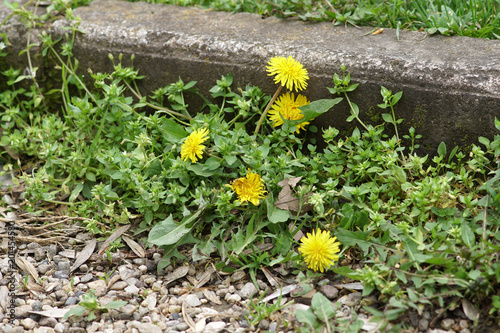 Weeds growing on a courtyard Slika na platnu
