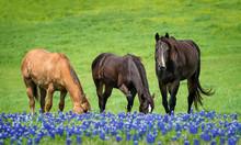 Three Horses Grazing In Texas ...