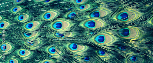 beautiful multicolored peacock feathers, natural texture, background, panorama