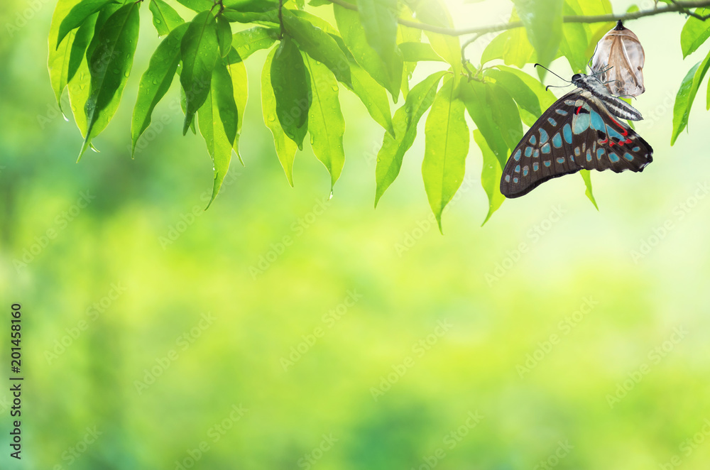 Fototapeta Butterfly change Chrysalis