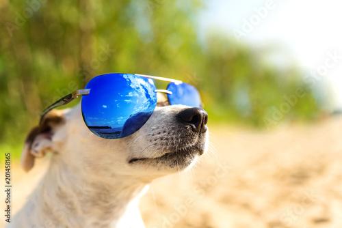 pies-w-suslassess-na-plazy-jack-russell