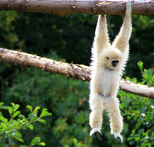 White-Cheeked Gibbon Hanging O...
