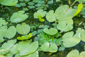 Bright green lilly pad\'s cover the surface of a pond
