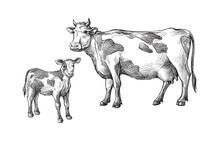 Sketches Of Cows And Calf Draw...