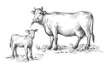 Sketches Of Cows And Calf Drawn By Hand. Livestock. Cattle. Animal Grazing. Vector Illustration