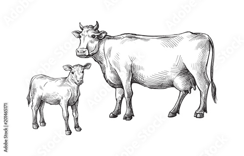 Foto sketches of cows and calf drawn by hand