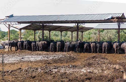 Papiers peints Cappuccino The buffalo on the mozzarella farm, Italy.
