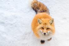 Brown Fox Was Sleeping And Wal...
