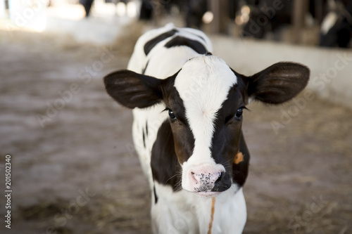 Fotografia young black and white calf at dairy farm. Newborn baby cow