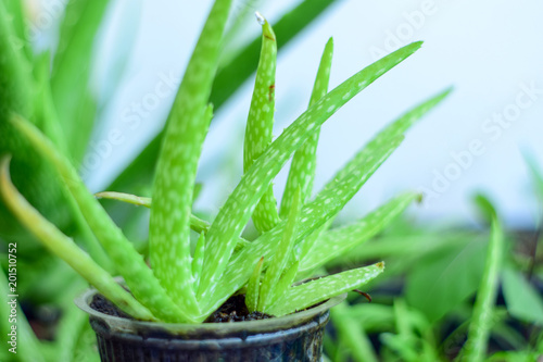 Close up Fresh aloe vera leaves , tropical green plants Wallpaper Mural