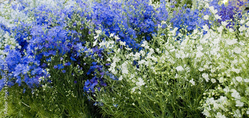collection of plants of delphinium (larkspur), in full bloom, late spring, blue, Poster Mural XXL