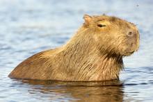Capybara (Hydrochaeris Hydroch...