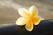 Frangipani or plumeria flower on wooden blur style for background,spa concept