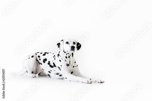 Fotografie, Obraz  one cute dalmatian dog lying isolated on white