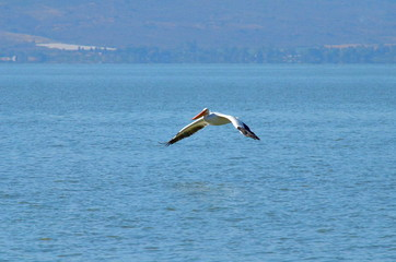 Fototapeta na wymiar American White Pelicans at Lake Chapala, Mexico