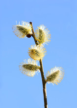Willow Flowers On A Branch. Sp...