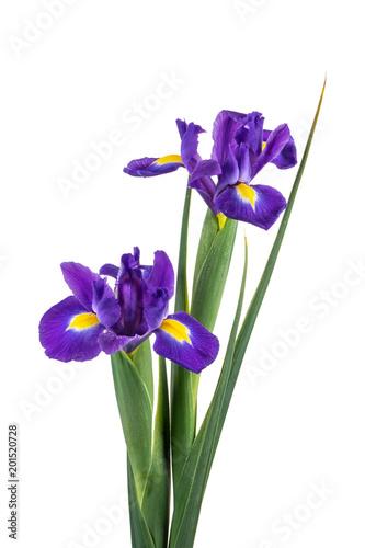 Spoed Foto op Canvas Iris Beautiful dark purple iris flowers