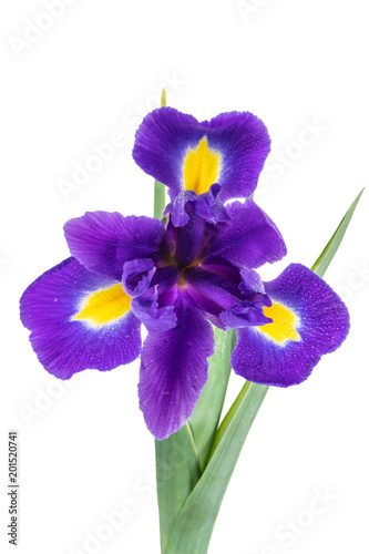 Foto op Plexiglas Iris Beautiful dark purple iris flower