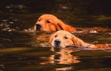 Two Golden Retriever Dogs Swim...