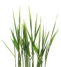 Green Reed, Cane Grass Isolated On White Background, Clipping Path