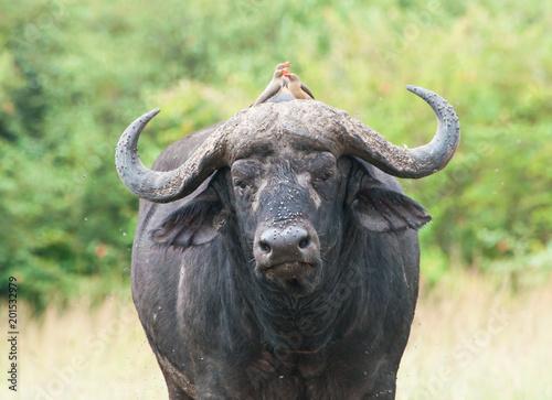 Tuinposter Buffel Cape Buffalo, Maasai Mara Kenya