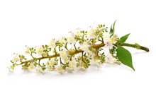 Blossoming Horse-chestnut (Aes...