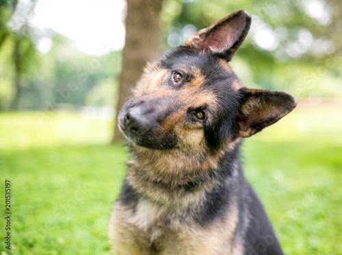 Fotografia A friendly German Shepherd dog listening with a head tilt