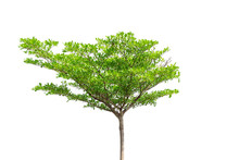 Tree Isolated,Di-cut Tree Whit...