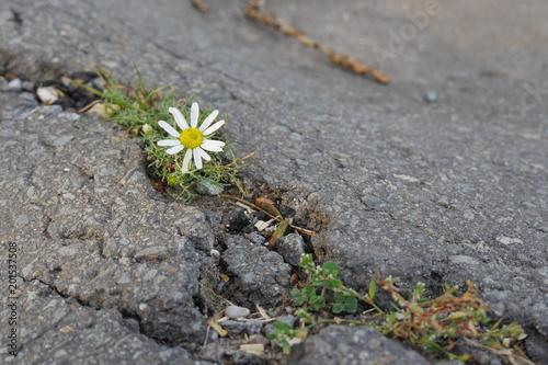 Fotografie, Obraz  Gänseblümchen wächst in Asphalt