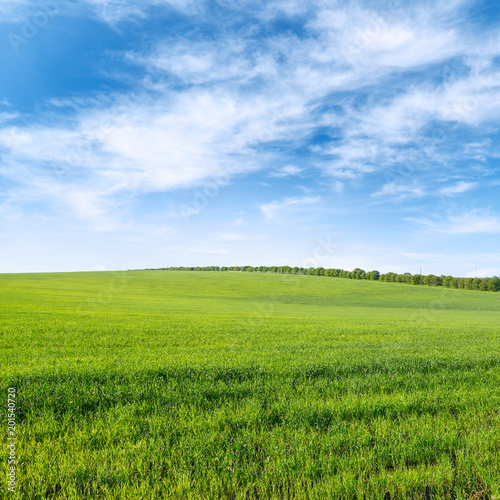 Aluminium Prints Landscapes Green spring wheat field and blue sky with clouds.