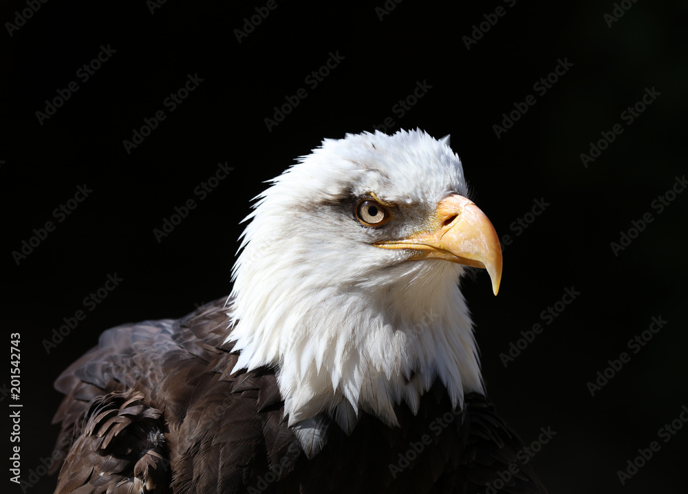 Close up detailed portrait of a Bald Eagle with dark background