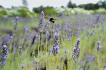 A Bumblebee Hovers Over A Row Of Lavender.
