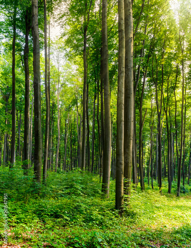 Foto auf Gartenposter Wald beech forest on a sunny day. lovely nature scenery with tall trees. warm sunlight through spring green foliage