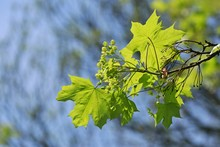 Acer Platanoides, Young Fresh ...
