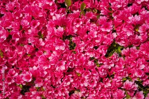 Papiers peints Azalea Tokyo,Japan-April 20,2018: Flower carpet of azalea in Japan