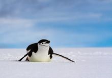 Chinstrap Penguin (Pygoscelis Antarcticus) Sliding On White Snow Against A Blue Sky, Antarctica