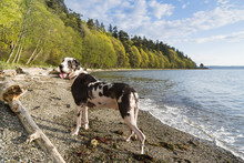 Great Dane Dog On The Beach Near Seattle