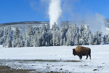 A Bison In Front Of Geyser, Winter, Yellowstone National Park, Wyoming, United States