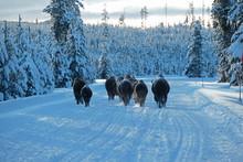 Herd Of Bison Walking On A Roa...