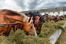 Group Of Purebred Horses Eating Hay On Rural Animal Farm.