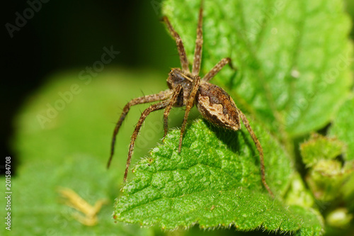 Photo Macro of a brown spider of the family Lycosidae on a leaf of a nettle