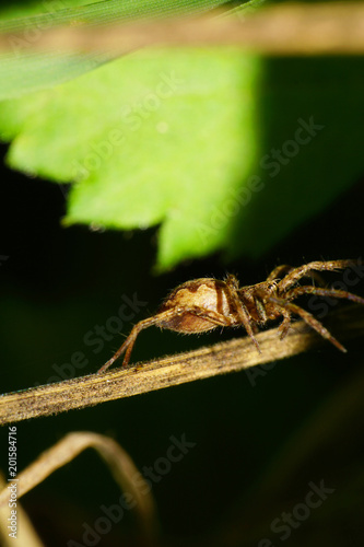 Macro of a Caucasian spider of a stray hunter of the family Lycosidae Wallpaper Mural