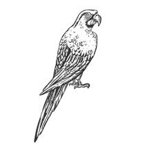 Macaw Bird Engraving Vector Illustration