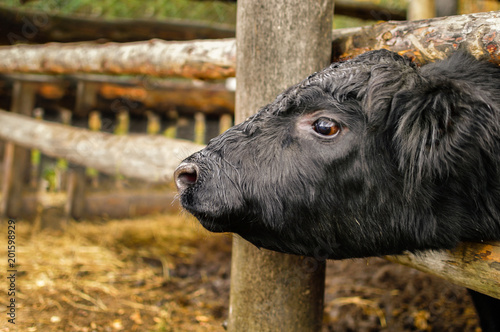фотография  The cow of the Aberdeen-Angus breed is black.